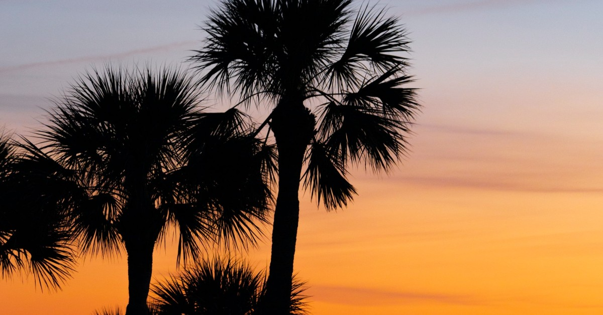 palmetto palm trees in sunset