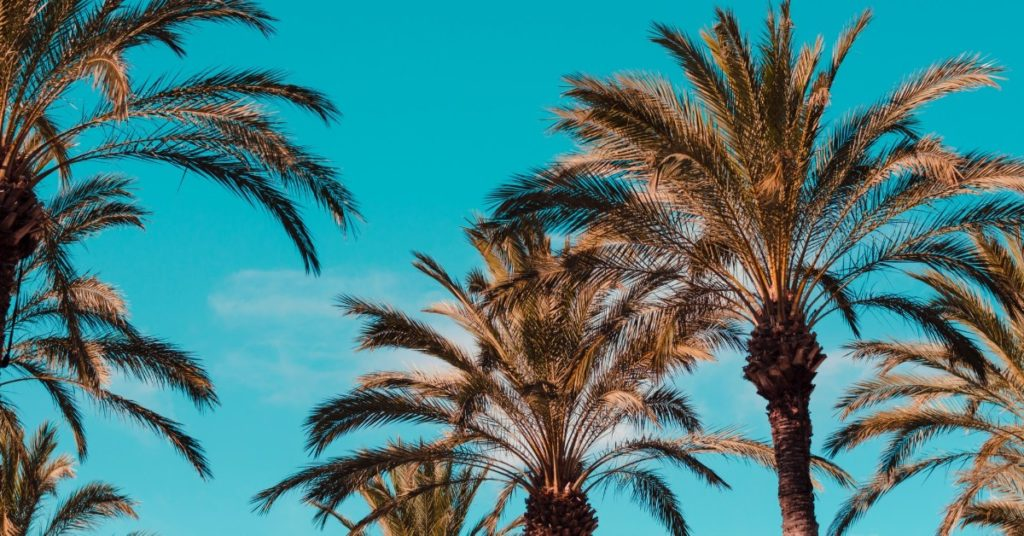 palm trees with a blue sky background